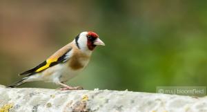 Goldfinch (European) Carduelis carduelis