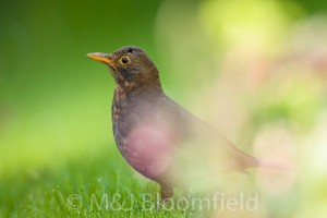 Female Blackbird Tardus merula