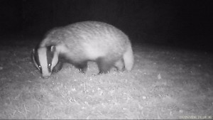 IR picture of a Badger in a garden