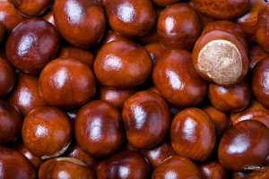 Horse Chestnut seeds or conkers