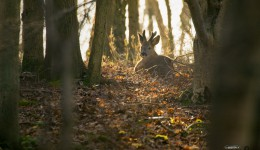 picture of Roe Deer