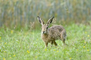 Brown or European Hare