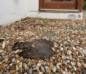 Dead male Sparrowhawk Accipiter nisus.