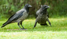 Carrion and Hooded Crow hybrids