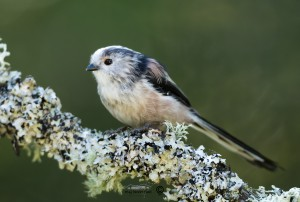 Long-tailed Tits Aegithalos caudatus on branch looking left