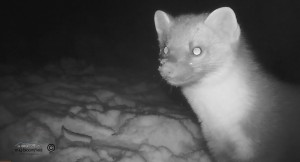 Close up still of a Pine Marten