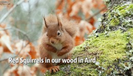 Red Squirrel sitting in a Birch tree