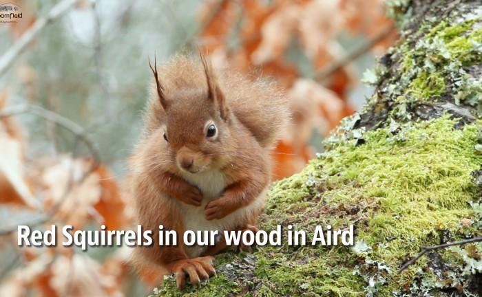 Red Squirrel sitting in a Birch tree