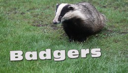 Video about Badgers that visit our garden