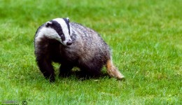 Alert male Badger