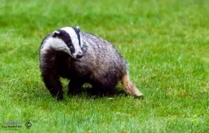Alert male Badger