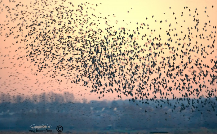 Large flock of Common Starlings flying together