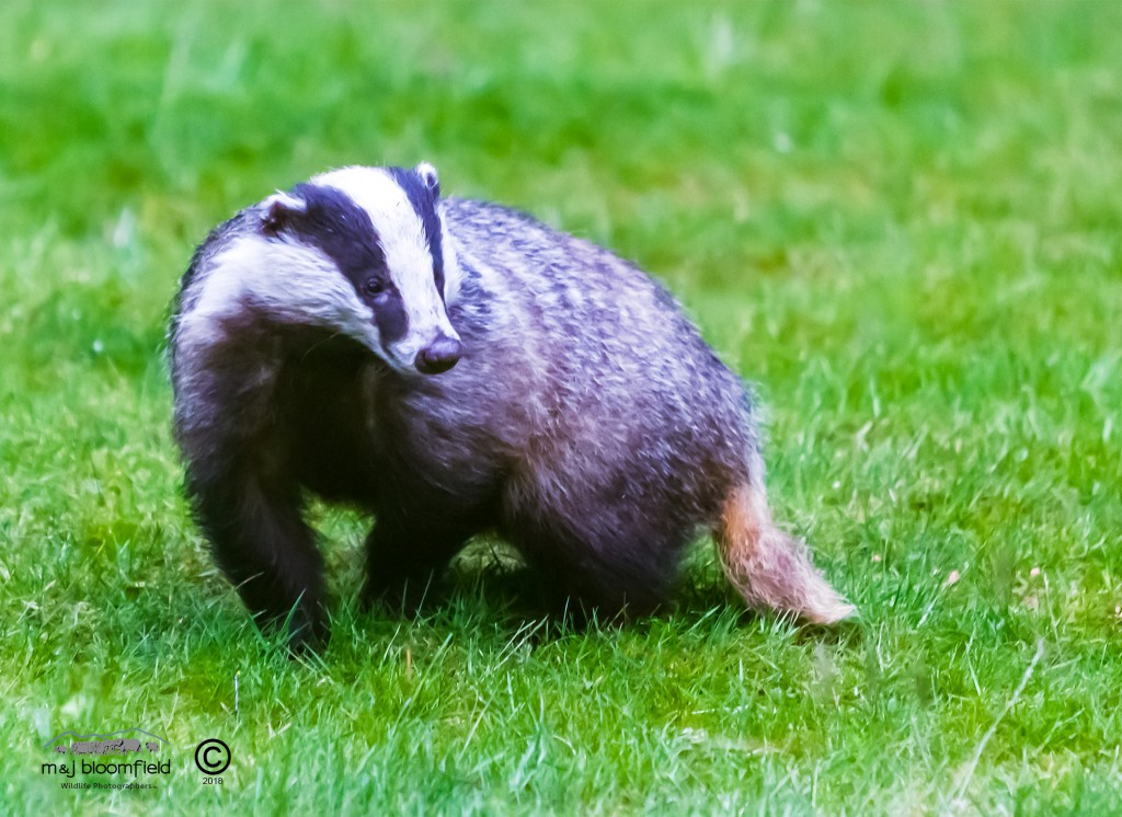 Badger in garden looking alert