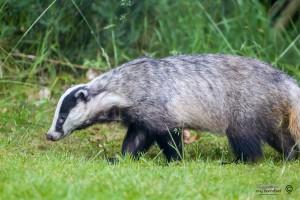 Badger walking in garden