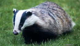 Badger walking in a garden