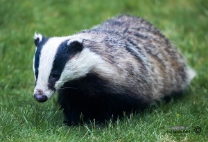 Badger walking in a garden