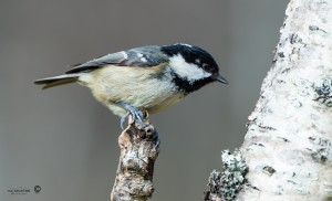 Coal tit Periparus ater looking at tree trunk