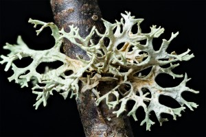 Lichen Evernia prunastr looks like stags horns