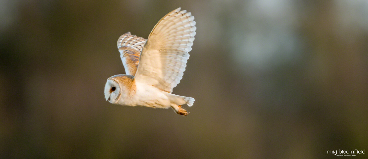 Barn Owl in flight over the Oxfordshire countryside taken by Mark and Jacky Bloomfield wildlife photographers
