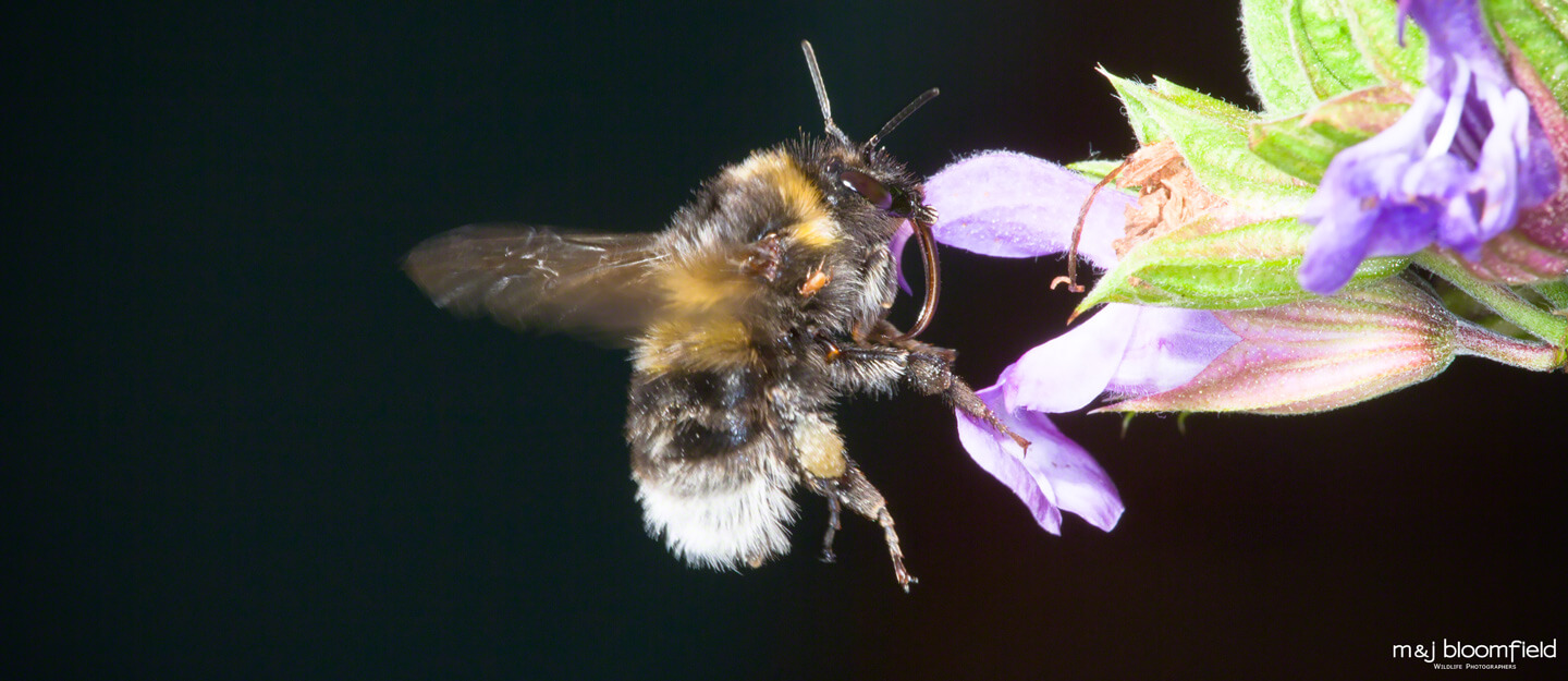 Picture of a Bumble Bee flying towards a flower taken by M and J Bloomfield nature photographers