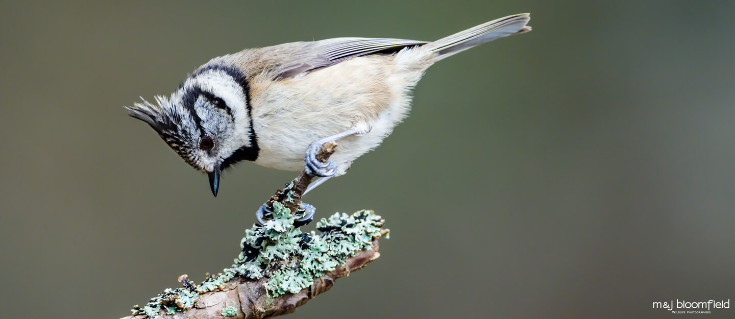 Crested tit perched on a tree branch Cairngorms Scotland captured by M and J Bloomfield wildlife photographers