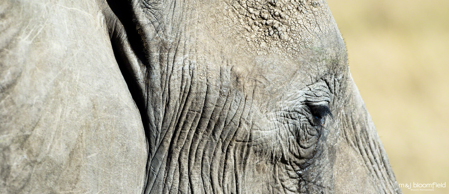 The Eye of an African Elephant in Kenya's Masai Mara taken by M & J Bloomfield wildlife photographers