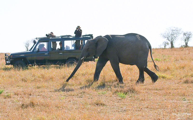 Tourists in a four by four safari vehicle watching an elephant in Kenya's Masai Mara