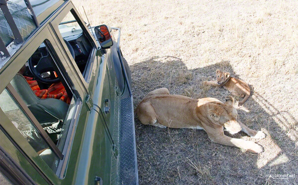 Lioness and lion lying next ot a landrover in Kenyas' Masai Mara