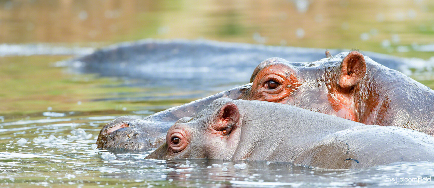 Hippos in a pool Talek river Masai Mara Kenya taken by Mark and Jacky Bloomfield wildlife photographers
