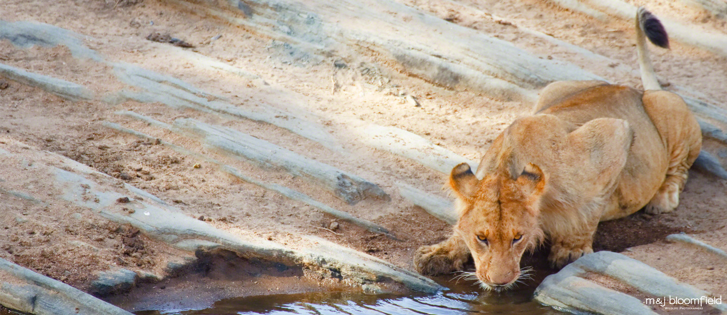 African Lioness taking a drink from a water hole Masai Mara Kenya taken by Mark and Jacky Bloomfield nature photographers