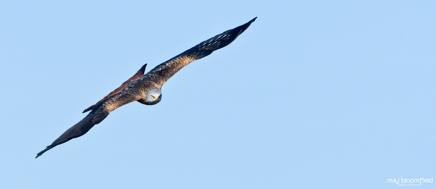 Red Kite flying over the Oxfordshire countryside taken by M and J Bloomfield wildlife photographers