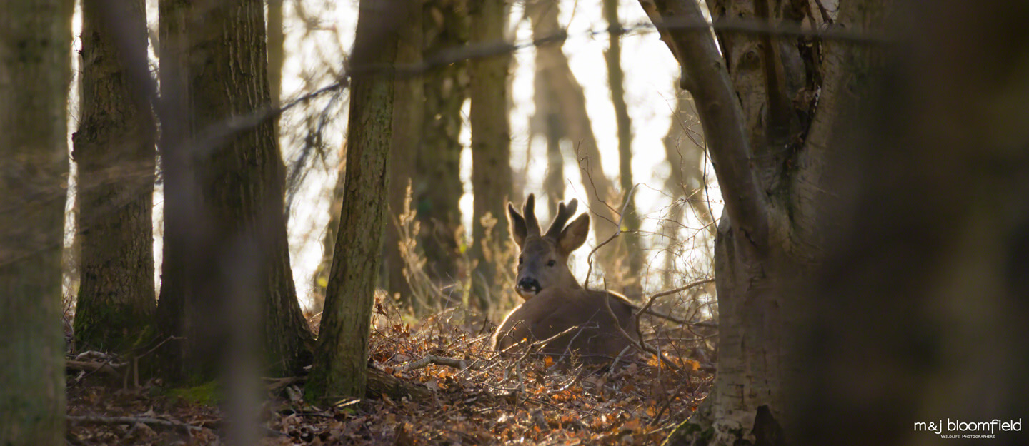 Male Roe Deer resting in a wood in West Berkshire taken by M and J Bloomfield wildlife photographers