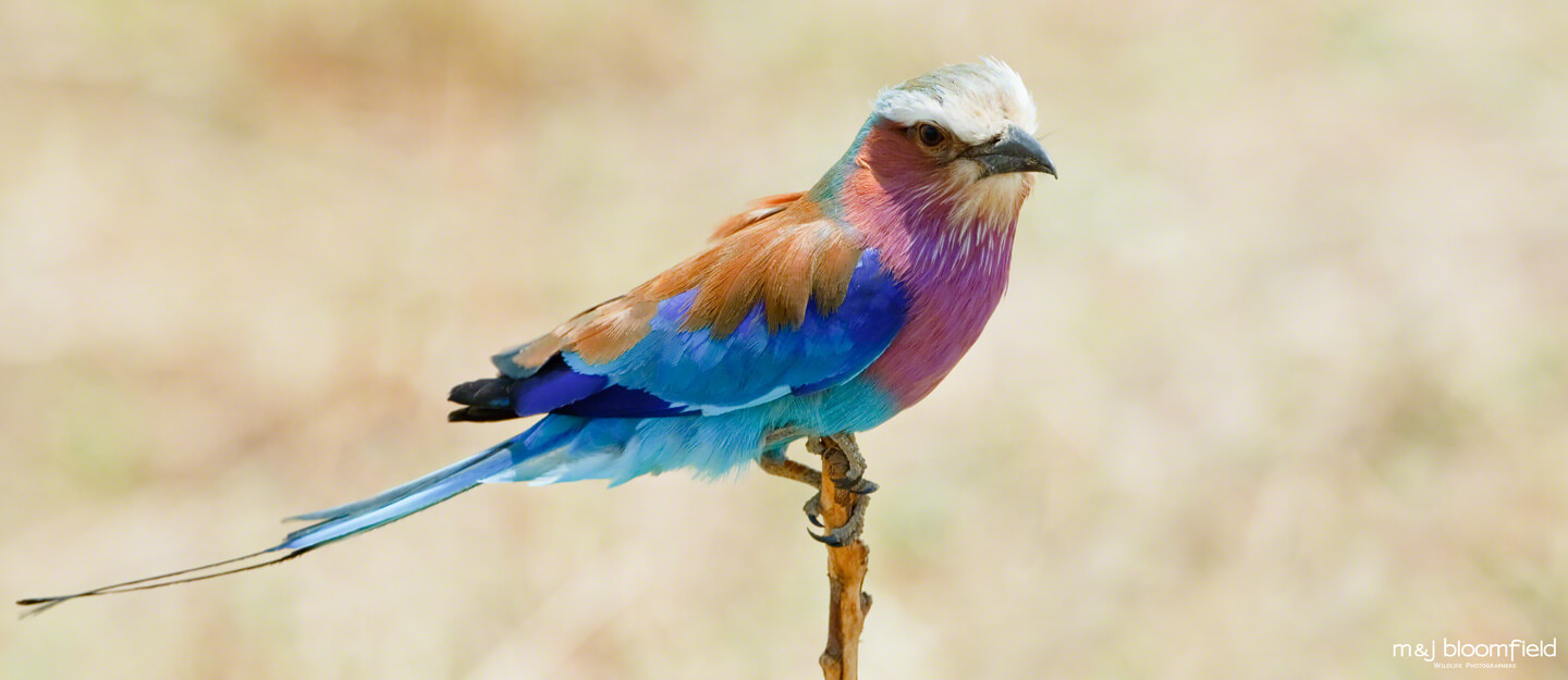 Picture of a Lilac breasted roller Masai Mara Kenya picture taken by Mark and Jacky Bloomfield wildlife photographers