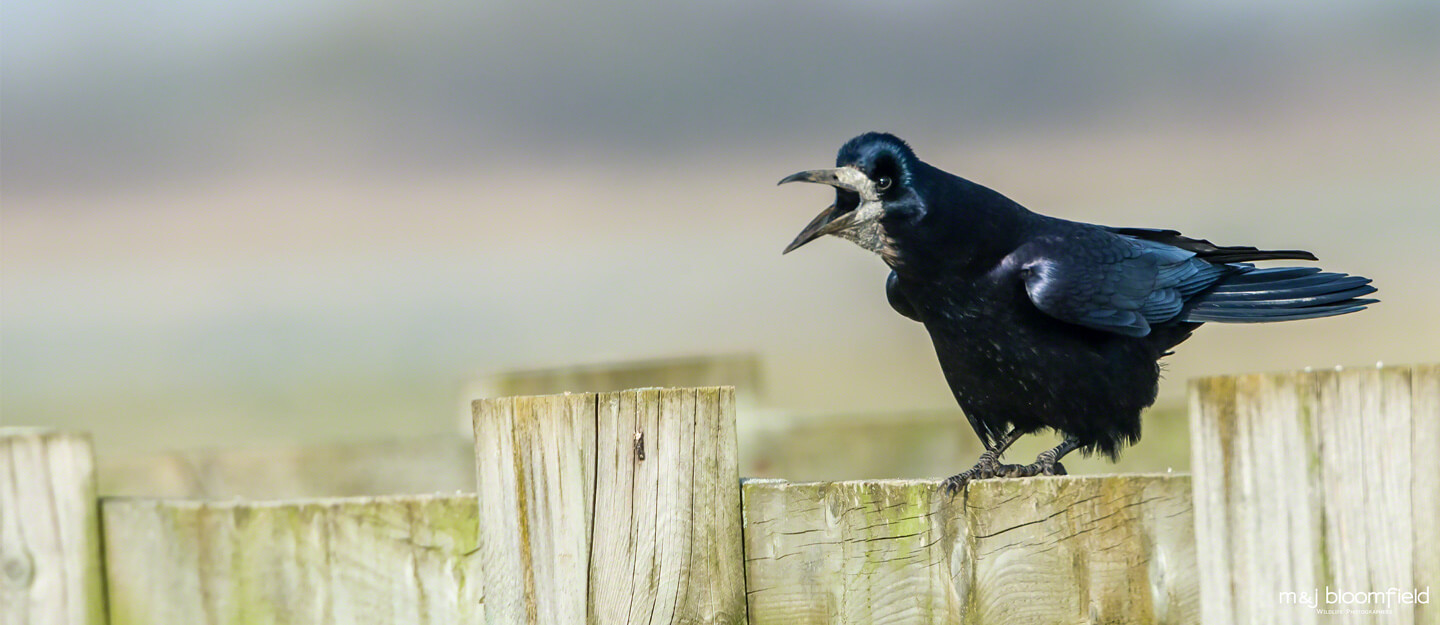 Picture of a Rook perched on a fence calling Oxfordshire taken by Mark and Jacky Bloomfield wildlife photographers