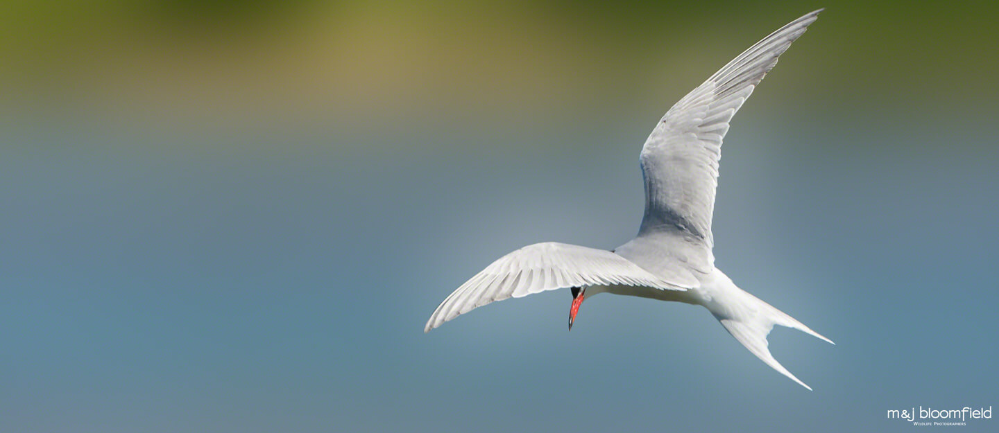 Tern flying over the Buckinghamshire countryside picture taken by Mark and Jacky Bloomfield wildlife photographers