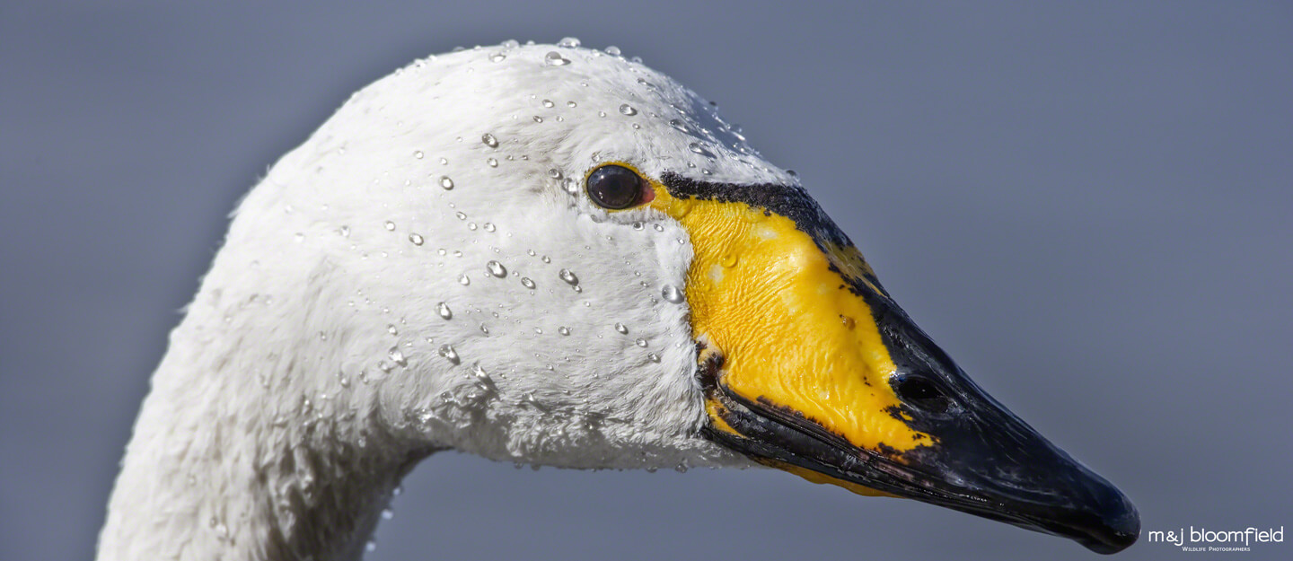 Whooper swan Norfolk England picture taken by Mark and Jacky Bloomfield wildlife photographers